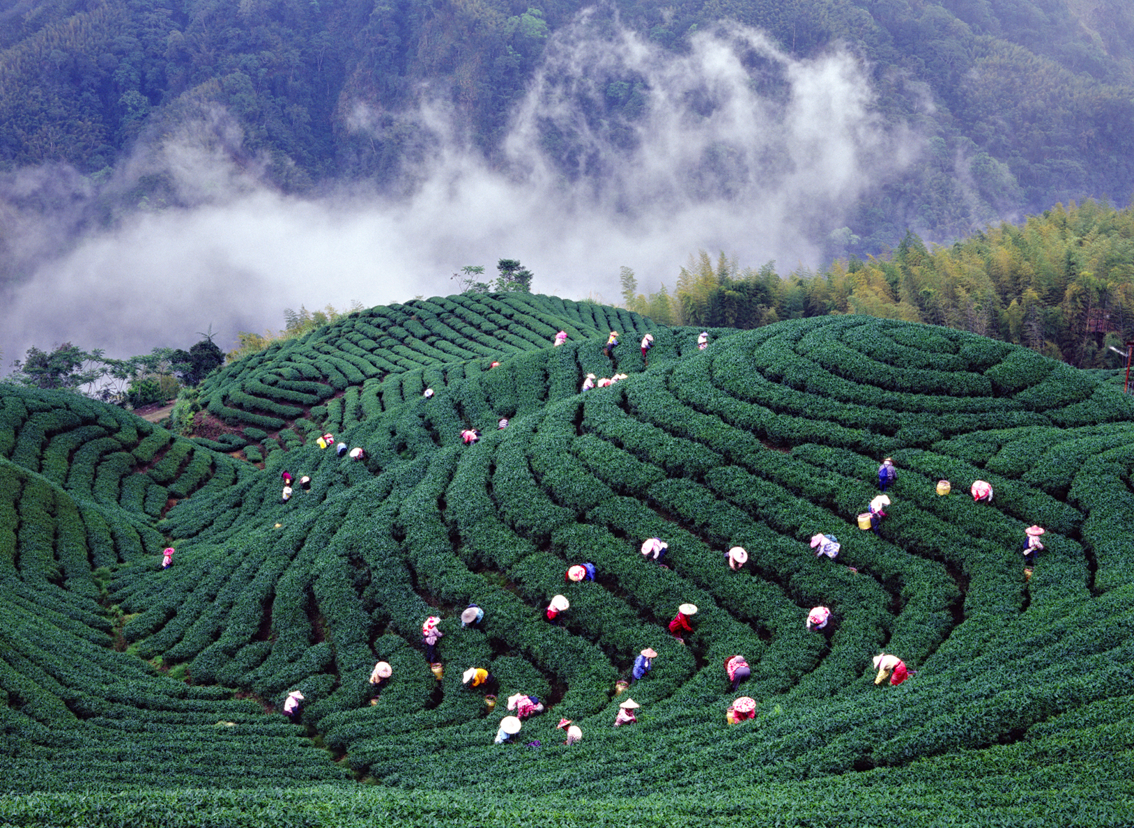 2006 Photography Competition Excellent Work Yang, Bo-cheng - Scenery of Tea Garden