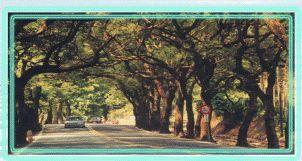 南投縣樹~樟樹